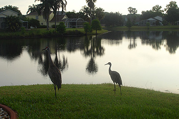 The Visiting Crane Family